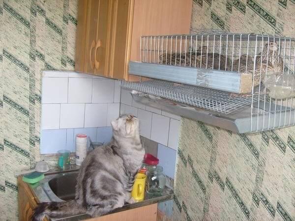 Перепелки на кухне.