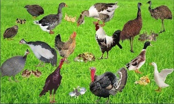 Домашние птицы с птенцами.