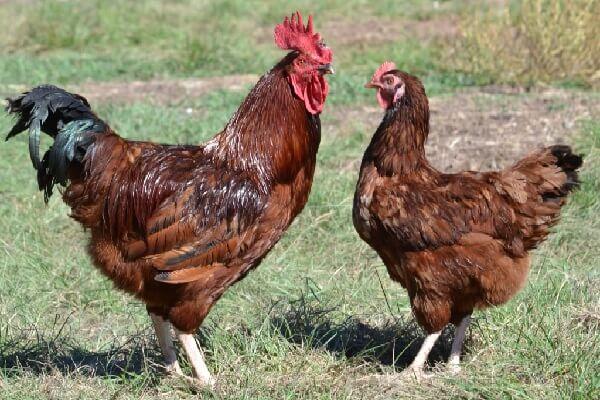 Лучшие яичные породы кур для домашнего разведения: Род-Айленд.