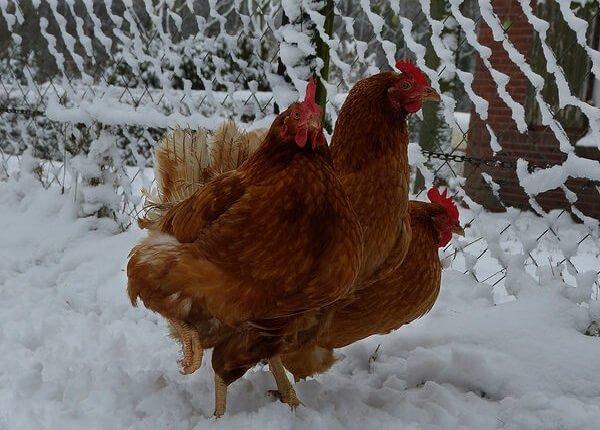 Русские красные породы кур не боятся морозов.