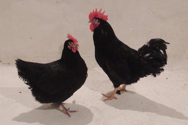 Панциревские куры черные.