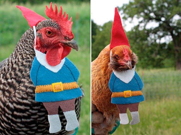 примерку курица фото картинки прикольные несколько часов этого