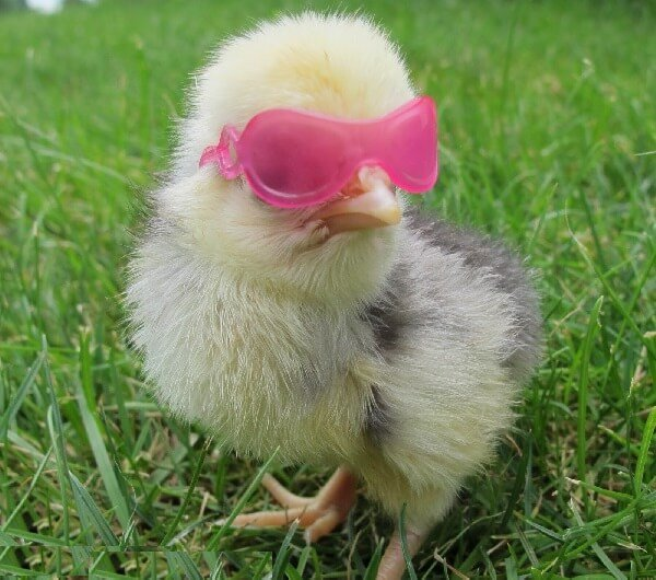 Смешные фото куриц