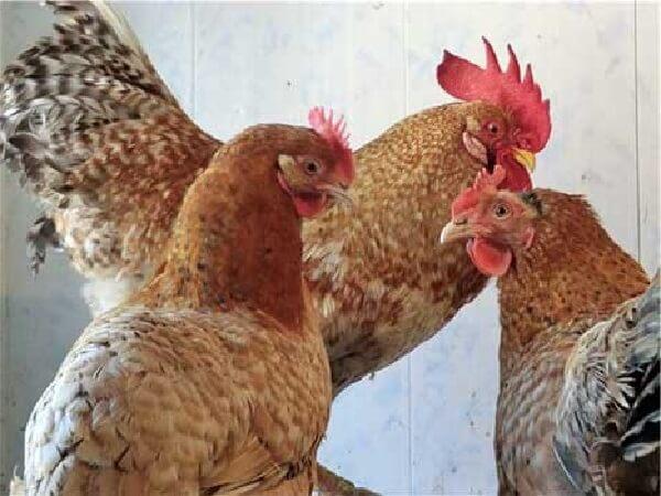 Триколор порода кур – описание породы, фото и видео.