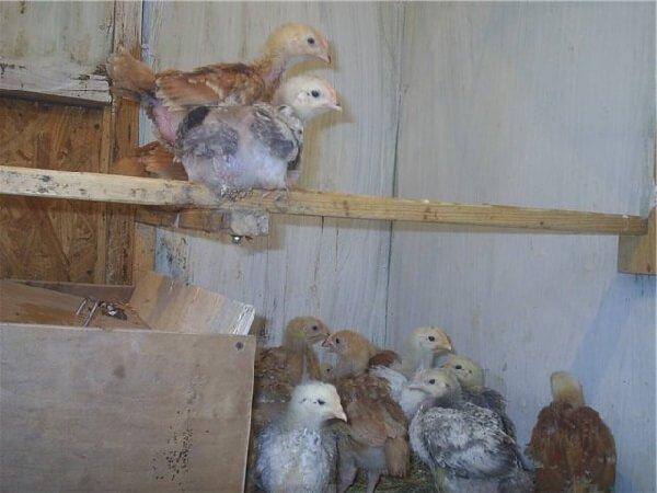 Цыплята Триколор.