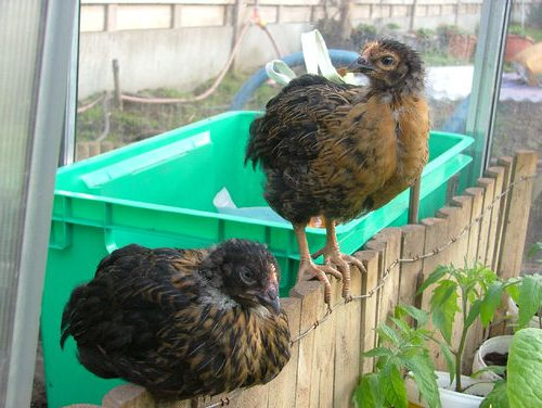 Супер Харко порода кур – описание, фото и видео.