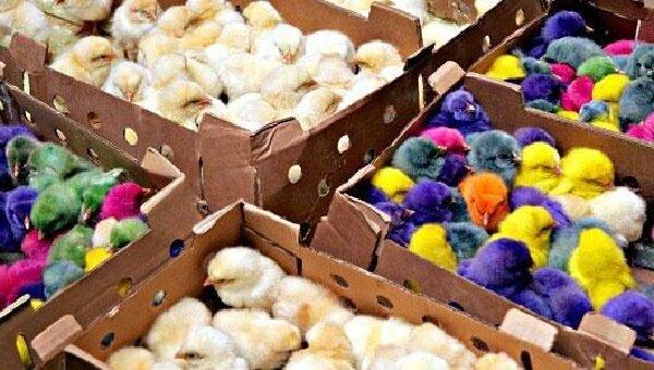Простые и цветные цыплята на продажу.