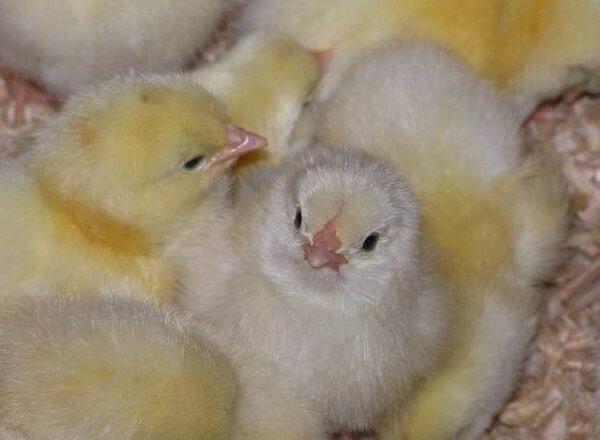 Вакцинация цыплят инструкция и прививки бройлеров.