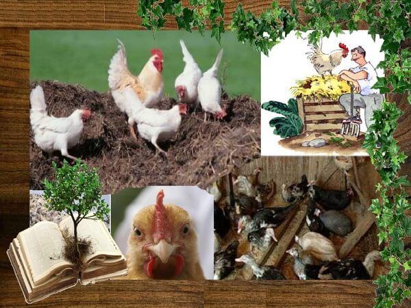 Куриный помет для сада, рыбалки и красоты тела.