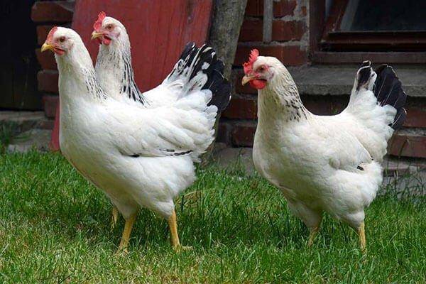 Породы белых кур несушек.
