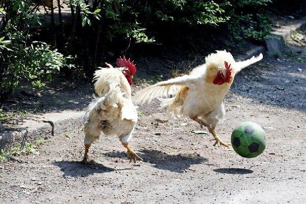 7 невероятных фактов про кур и петухов.