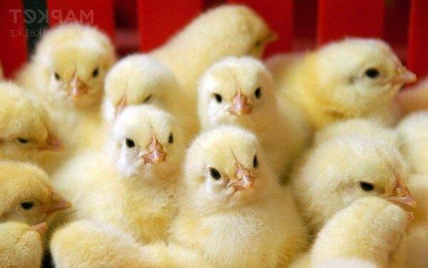 Вакцинация цыплят бройлеров и прививки цыплятам в домашних условиях.
