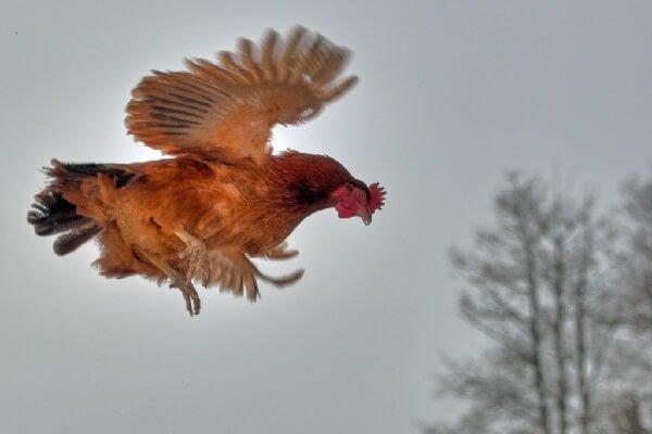 Курица в полете! Как подрезать крылья курам?