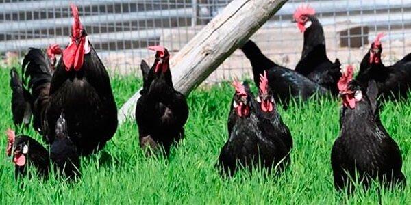 Кастеллана черная порода кур.