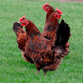 Красношапочная порода кур.