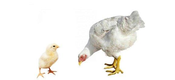 Цыпленок и курица Росс 308.