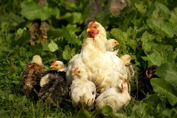 Курица наседка с цыплятами.