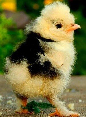 Суточный цыпленок Алтайской Бантамки.