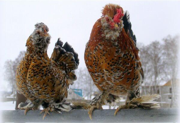 Петух и курица Алтайской бентамки.