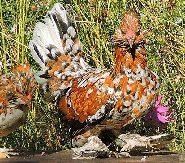 Алтайская Бентамка порода кур из Барнаула.