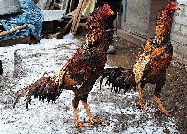 Азиль порода кур – описание с фото и видео.