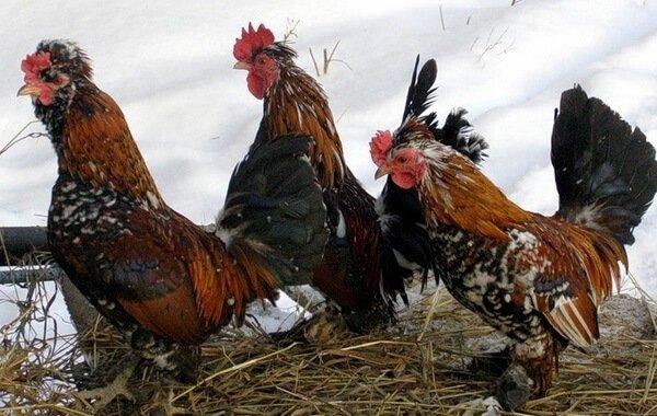 Бентамка мохноногая порода кур – описание с фото и видео.