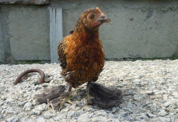 Цыпленок Бентамка мохноногая.