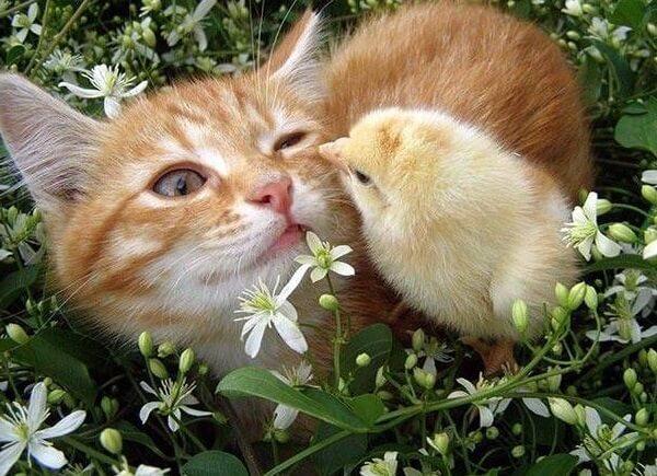 Дружба кур и цыплят с другими животными.