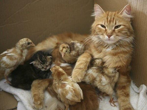 Рыжая кошка обогревает рыжих цыплят.