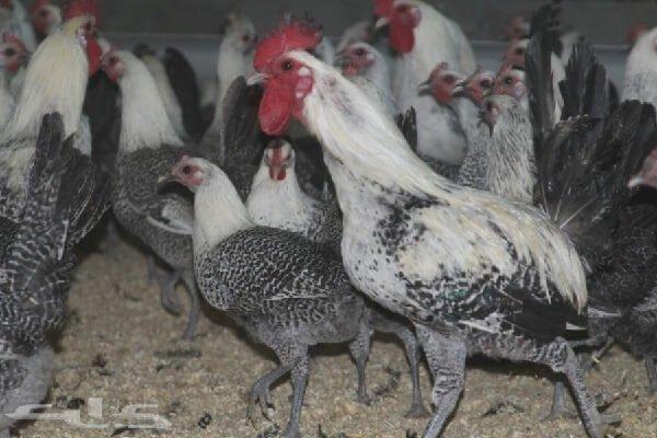 Египетская Файоуми порода кур несушек.