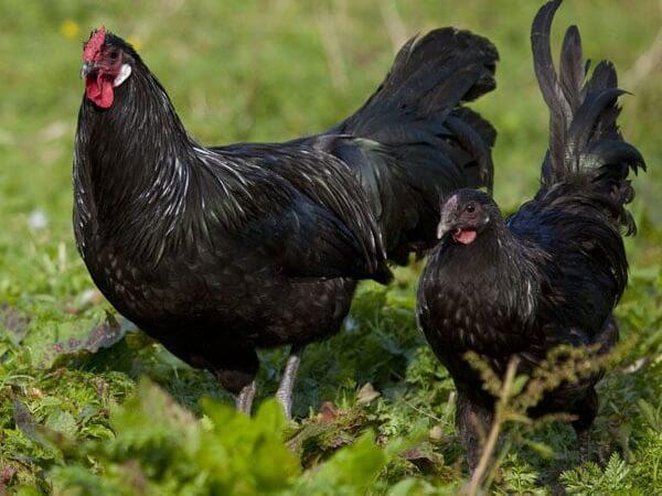 Эльзасская порода кур – описание с фото и видео.