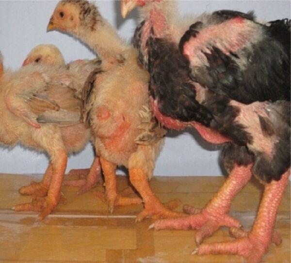 Цыплята породы Га Донг Тао в 2 месяца.