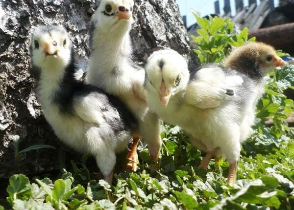 Цыплята породы Кубалая.