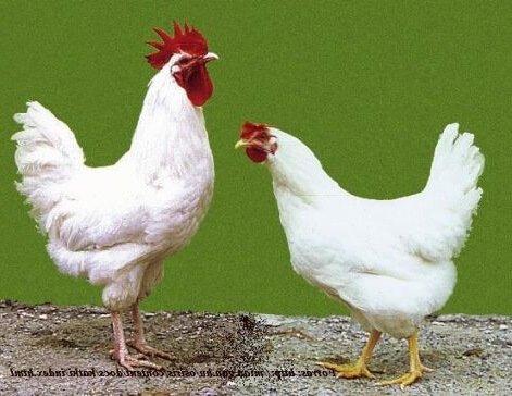 Белый Мадьяр порода кур.