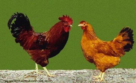 Красный Мадьяр порода кур.