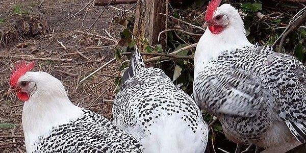 Остфризская чайка порода кур – описание с фото и видео.