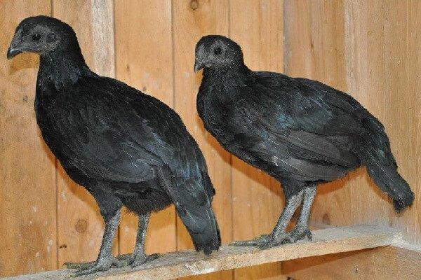 Подрощенные цыплята Тузо.