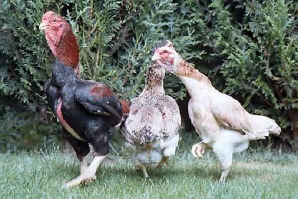 Ямато порода кур – описание с фото и видео.