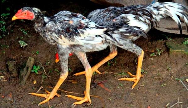 Сунданезийская бойцовая порода кур – описание, фото и видео.