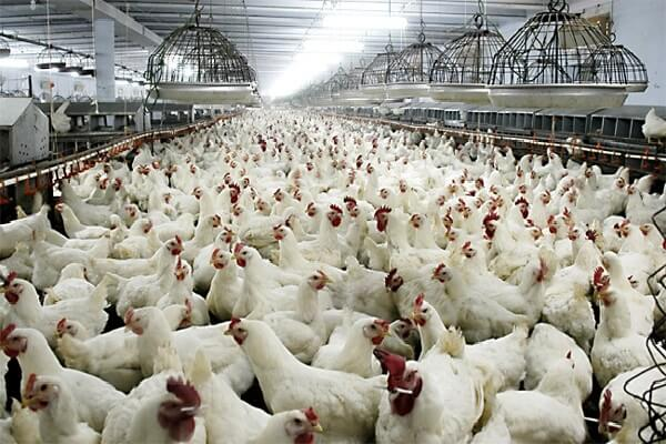Альштейр порода кур из Австрии – описание с фото.