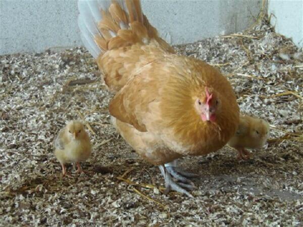 Квочка Алхон с цыплятами.