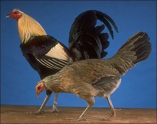 Петух и курица Американской бойцовой породы.