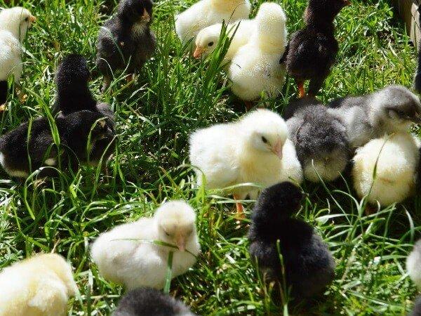 Суточные цыплята Аннаберг.