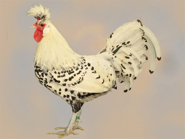 Аннаберг порода кур – описание с фото и видео.