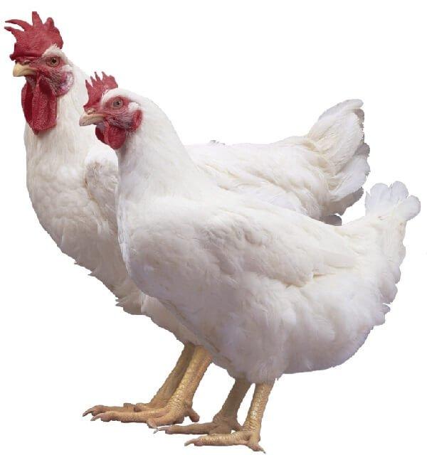 Петух и курица Бройлеры Арбор Айкрес.