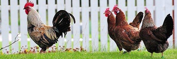 Асбохонс порода кур – описание с фото и видео.