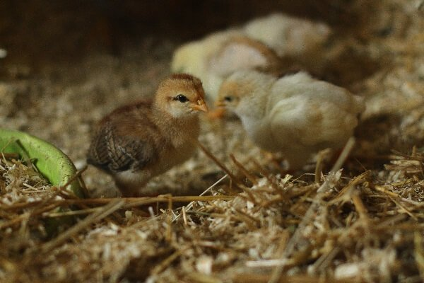 Цыплята Асбохонс.