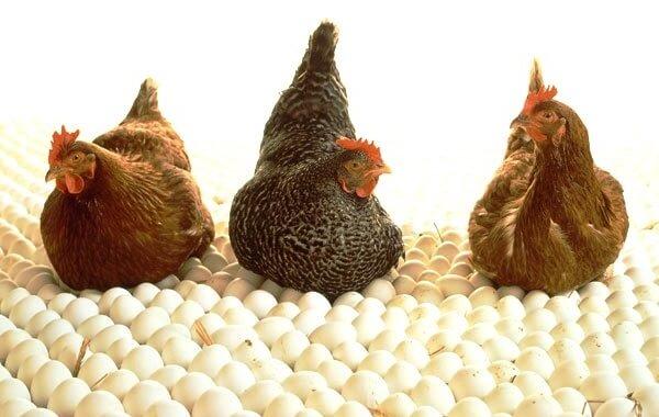 Несушки и яйца.