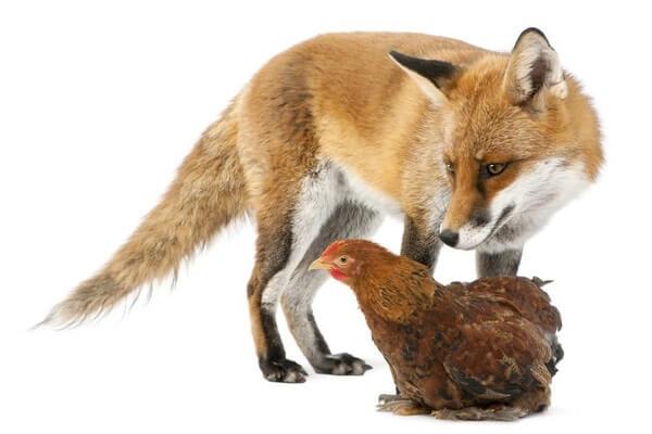 Курица и лиса.