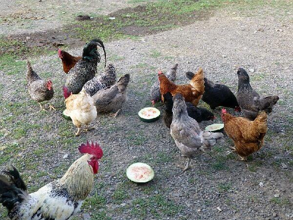 Калифорнийская серая порода кур – описание, фото и видео.